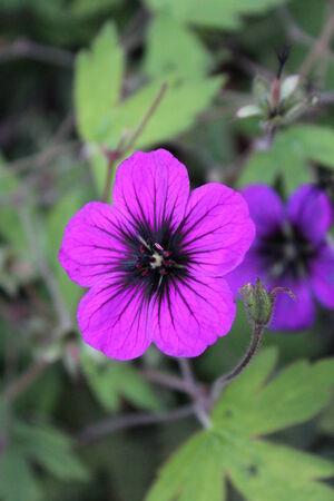 vibrant cottage: Vivid Purple Rockplant Flower, England  Stock Photo