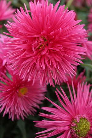 multi petalled: Brilliant Pink Spikey Flowers, England Stock Photo