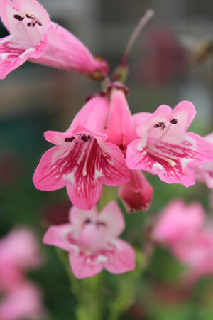 dainty: Dainty Pink Miniature Foxgloves, England