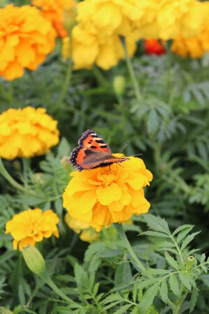 admiral: Red Admiral Butterfly on Yellow Flower, England  Stock Photo
