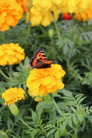 vibrant cottage: Red Admiral Butterfly on Yellow Flower, England  Stock Photo