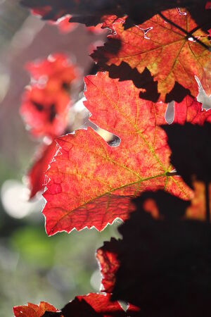 russet: Russet and Orange Vine Leaves, England. Stock Photo