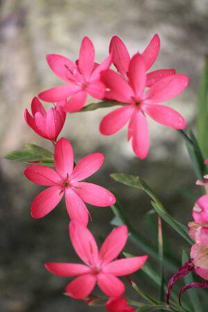 discreto: Pink Star Shaped Flores sobre fondo gris, Inglaterra