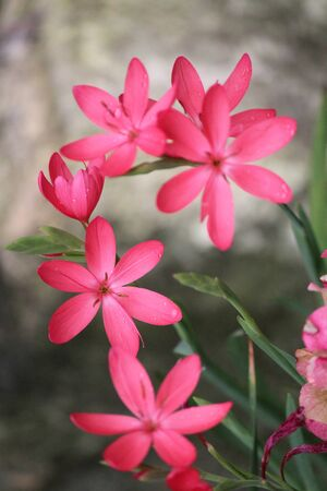 Pink Star Shaped Flowers on Grey Background, England