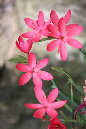 Pink Star Shaped Flowers on Grey Background, England photo