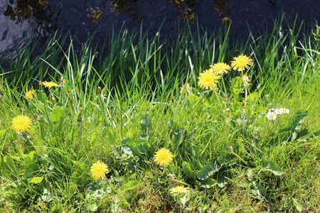 spiky hair: Dandelions by Stream in Sunshine England. Stock Photo