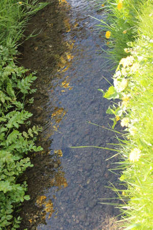 Dandelions by Stream in Sunshine England. photo