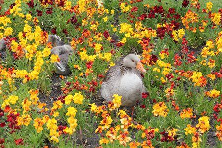 preening: Geese Preening in Flowerbed England. Stock Photo