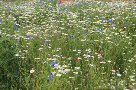 grass verge: Wild Flowers in Meadow in Spring England. Archivio Fotografico