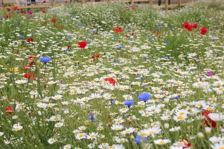 grass verge: Wild Flowers in Prato in primavera in Inghilterra.