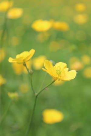 buttercups: Buttercups in Field England.