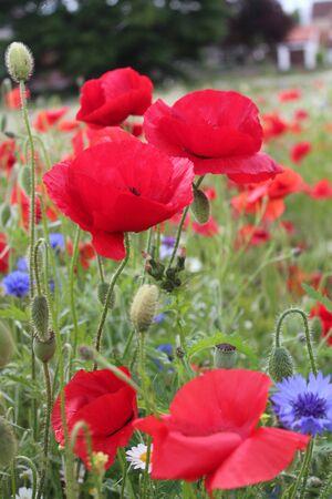 grass verge: Papaveri scarlatti nel prato di fiori selvatici Inghilterra.