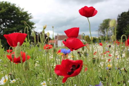 grass verge: Scarlet poppies in Meadow of Wild Flowers England.