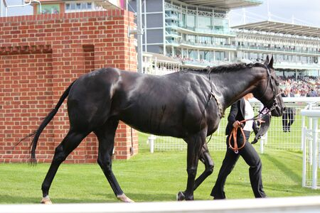racehorse: Racehorse After The Event, York Races August 2015 Editorial