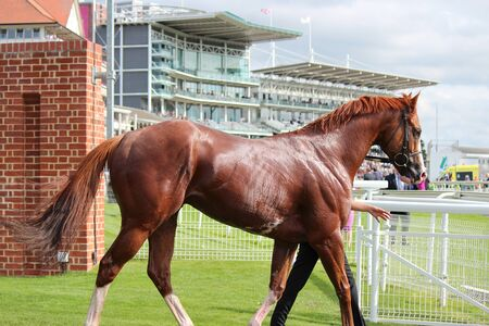 showground: Racehorse After The Event, York Races August 2015 Editorial