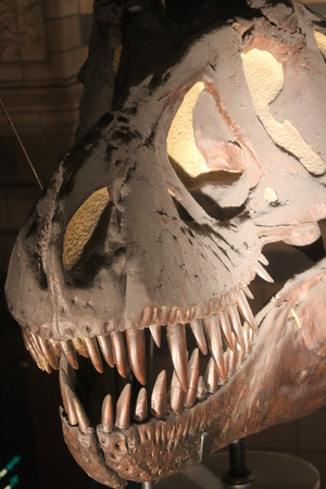 petrified fossil: Tyrannosaurus Smile With teeth. Stock Photo