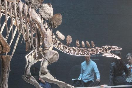 eye socket: Skeleton of Stegasaurus Dinosaur. Editorial