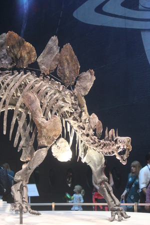 Skeleton of Stegasaurus Dinosaur. Editorial