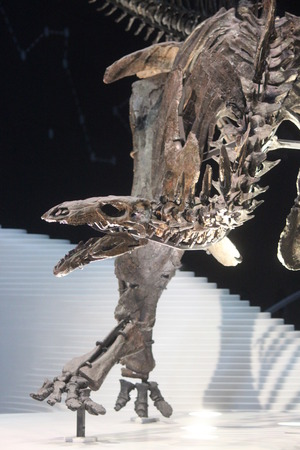 eye socket: Skeleton of Stegasaurus Dinosaur. Stock Photo