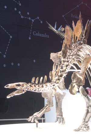 eye socket: Skeleton of Stegasaurus Dinosaur. Stock Photo