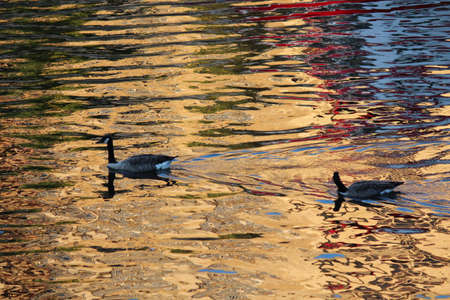 irridescent: Geese Swimming Through Gold and Blue Ripples at Sunset.