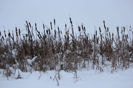 bulrushes: Lakeside Vegetation In Winter With Snow.