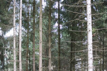 black forest: Pine Trees in Black Forest, Germany.