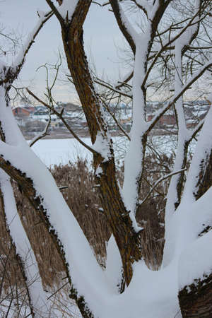 covered in snow: Snow Covered Tree, Russia In Winter. Stock Photo