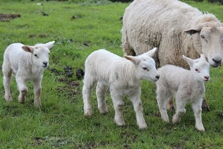spring lambs: Spring Lambs and Sheep in Green Grassy Meadow, Yorkshire Stock Photo