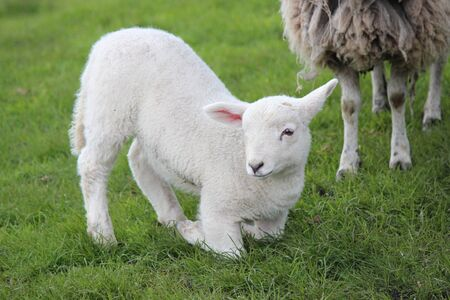 sheep eye: Spring Lambs and Sheep in Green Grassy Meadow, Yorkshire Stock Photo