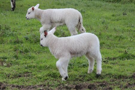 spring lambs: Spring Lambs and Sheep in Green Grassy Meadow, Yorkshire. Stock Photo