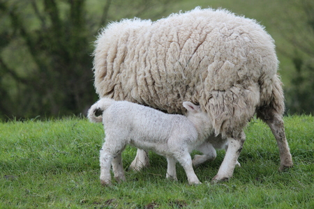 sheep eye: Spring Lambs and Sheep in Green Grassy Meadow, Yorkshire. Stock Photo
