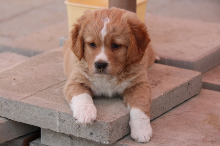 fawn: Adorable Fawn Coloured Puppy, Cyprus.