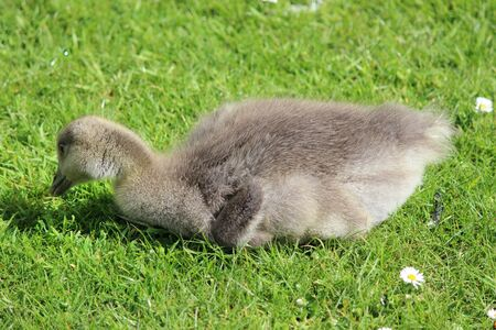 webbed legs: Fluffy Goslings Eating Grass Surrounded by Daisies, Yorkshire, England.