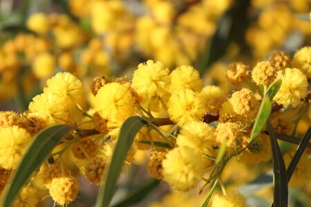 cyprus tree: Yellow Pom-Pom Blossoms on Tree in Cyprus in Spring. Stock Photo