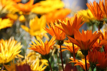 subdued: Vivid Yellow and Orange Marigolds in Summer, England.