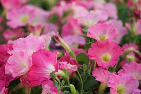 discreet: Pale Pink Petunias in Summer, England.