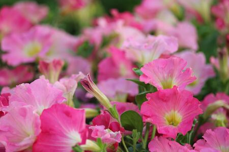 subdued: Pale Pink Petunias in Summer, England.