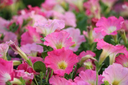 petunias: Pale Pink Petunias in Summer, England.