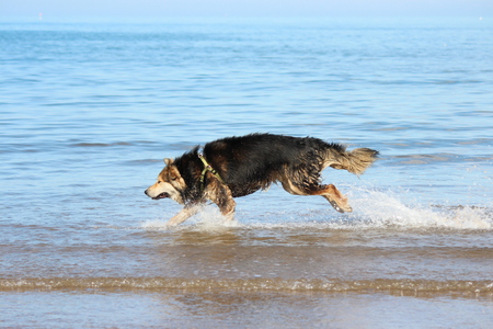 reacts: Large Dog Reacts to the Shallow Waves at the Seaside, England.