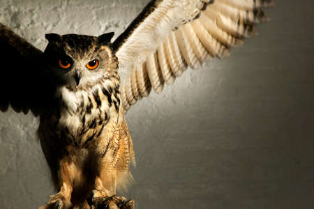 splayed: A well lit studio shot of an eagle owl looking menacing with wings splayed Stock Photo
