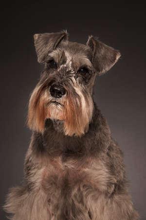cocked: A well lit studio shot of a miniature schnauzer dog Stock Photo