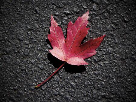 Re maple leaf on asphalt