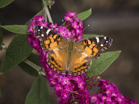 Butterfly sunning on butterfly bush