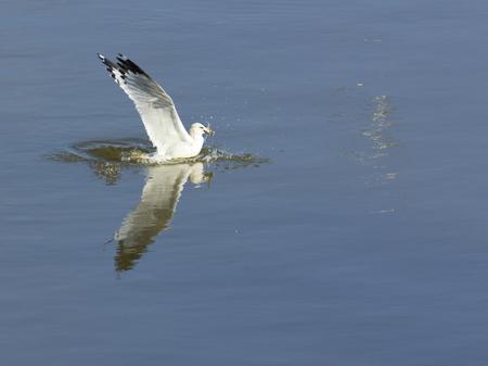 md: Seagull catches a fish in the Susquehanna River near Conowingo Dam