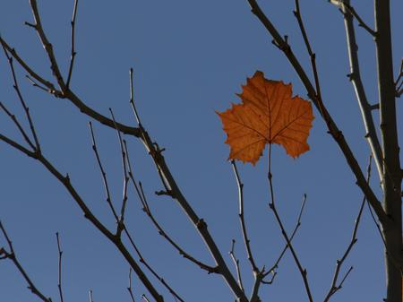 Single leaf remains on treetop Stock Photo