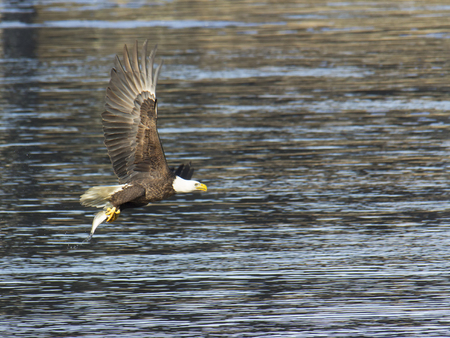 md: Adult bald eagle with fish caught at Conowingo Dam on the Susquehanna River.