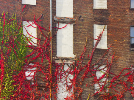 Colorful vines climb wall of old building