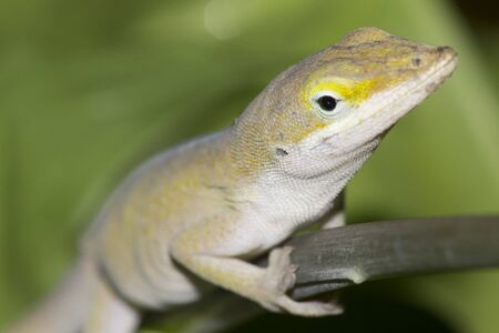 Closeup of garden lizard head