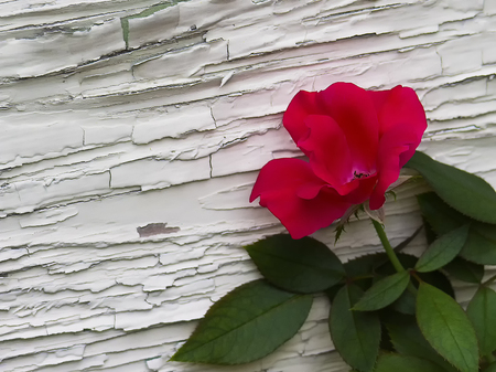 chipped paint: Red rose against wall with chipped paint Stock Photo